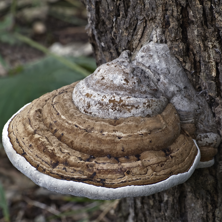 Artists Conk (Ganoderma applanatum)