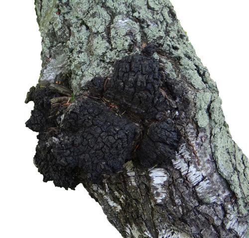Chaga mushroom australia