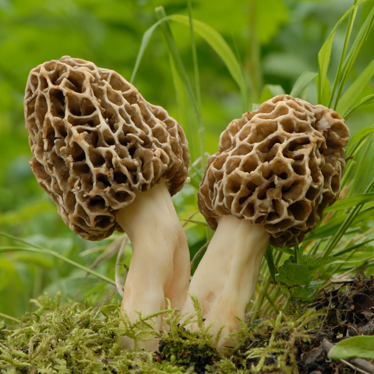 Yellow Morel (Morchella esculenta)