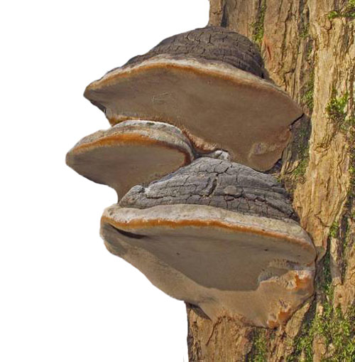 Willow Bracket (Phellinus Igniarius)
