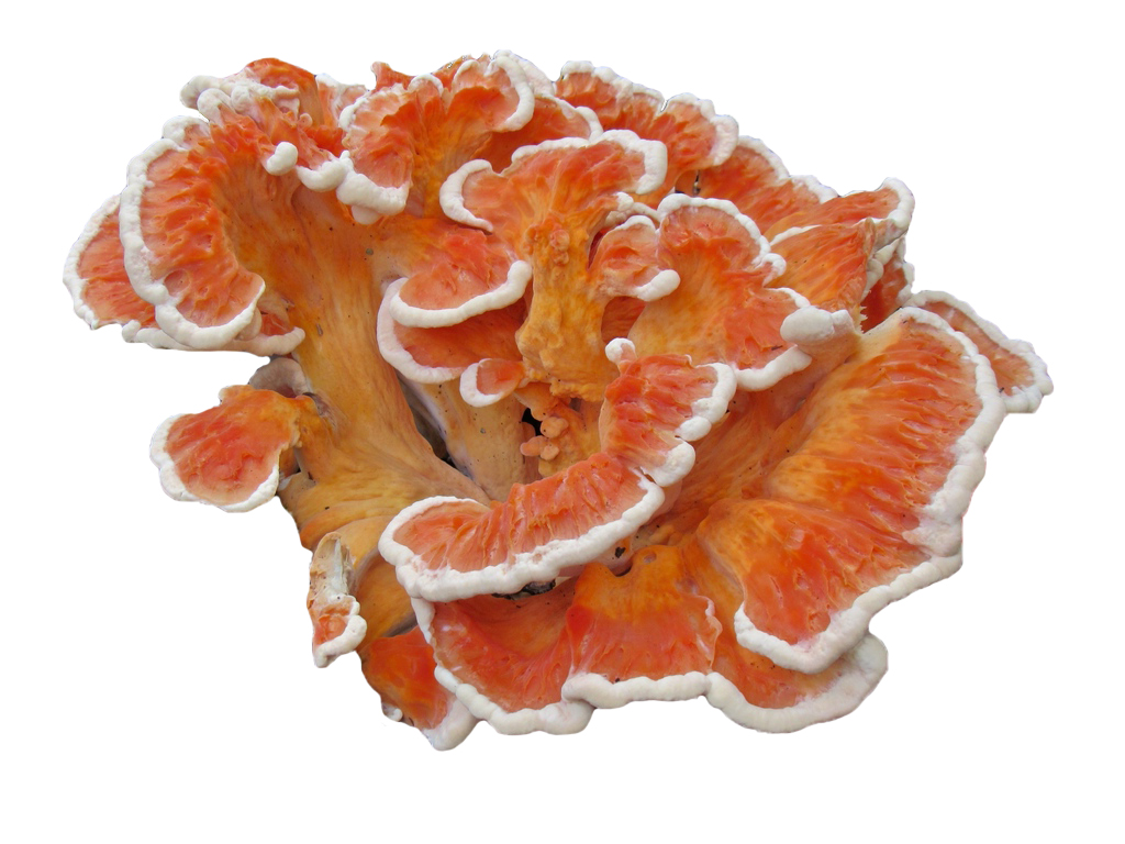 Chicken of the woods White-Pored (Laetiporus cincinnatus)